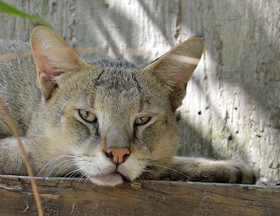 """תרם דם. טל, חתול ביצות בן שלוש שנים בספארי ר""""ג (צילום: טיבור יגר, ספארי ר""""ג)"""