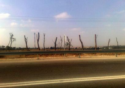 עצים מגנים מול טילים. כביש 232, השבוע (צילום: רועי עידן) (צילום: רועי עידן)