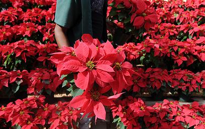 מגדלים במכסיקו מציגים את הצמח יופוריה פולצ'רימה, הידוע כצמח מסורתי לחג (צילום: AFP) (צילום: AFP)