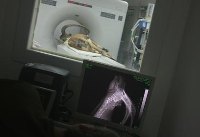 """בדיקת CT בביה""""ח הווטרינרי של האוני' העברית בבית דגן (צילום: ד""""ר רוני קינג, רשות הטבע והגנים)"""