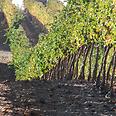 Grape vines in the Golan Heights Photo: Rina Nagila