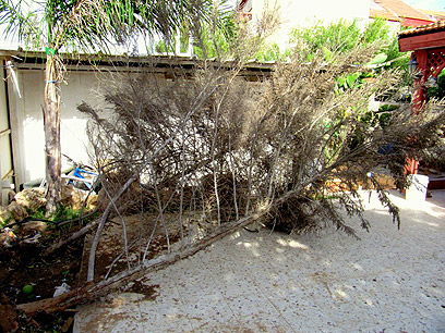 עץ קרס בבאר שבע (צילום: ענבר זניר) (צילום: ענבר זניר)