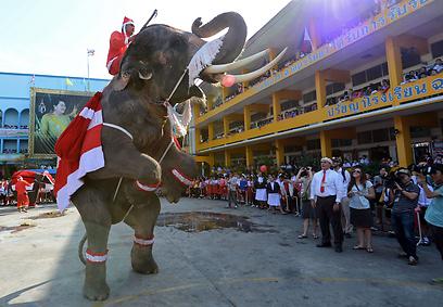 בתאילנד, כמדי שנה, הפילים הם שותפים לגיטימיים לחגיגה (צילום: AFP) (צילום: AFP)
