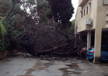 """העץ שקרס ליד בניין בכפר סבא. """"אנשים הזמינו מוניות"""" (צילום: הראל וקנין) (צילום: הראל וקנין)"""