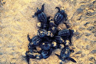 בוקעים במהריות ורצים לים. צבי-ים בחוף בצת (צילום: יניב אלון, טבע הדברים) (צילום: יניב אלון, טבע הדברים)