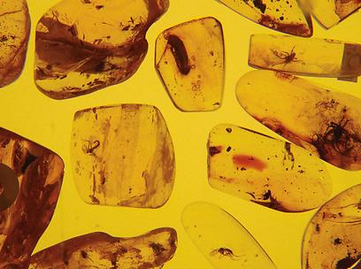 אבני הענבר מכילות חרקים בני מליוני שנים (צילום:  עמרי גלפרין, טבע הדברים) (צילום:  עמרי גלפרין, טבע הדברים)