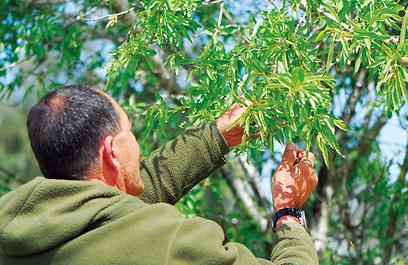 """עצי שקד גדלים בבר, בעיקר על קרקעות קירטוניות (צילום:   ד""""ר רחלי עינב, טבע הדברים) (צילום:   ד"""