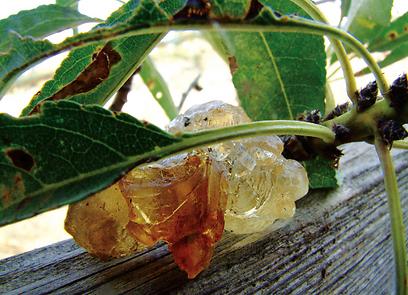 """החומר המופרש מהגבעולים ומהגזע. שרף השקד (צילום:   ד""""ר רחלי עינב, טבע הדברים) (צילום:   ד"""