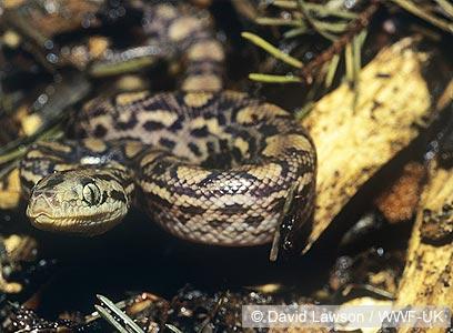 בואה קשת ברזילאית צעירה בטבע (צילום: David Lawson / WWF-UK)