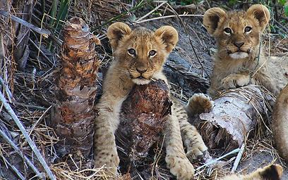 גורי אריה נחים על עץ (צילום: מולה יפה) (צילום: מולה יפה)