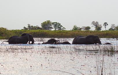 פילים חוצים את נהר האוקוונגו (צילום: רוני אוסלנדר) (צילום: רוני אוסלנדר)