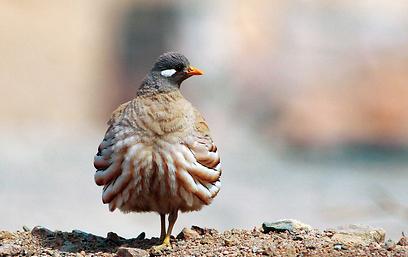 האביב הוא זמן הנדידה הטוב לתצפת על ציפורים. קורא מדברי (צילום: יהונתן מירב) (צילום: יהונתן מירב)