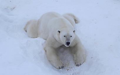 בשביל החיות השלג הוא משחק ילדים. בעיקר עבור דב הקוטב  (צילום: זיו ריינשטיין) (צילום: זיו ריינשטיין)