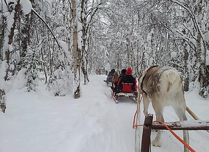 """כ-200 אלף איילי הצפון חיים בפינלנד, ומשמשים גם כ""""סוסים""""  (צילום: זיו ריינשטיין) (צילום: זיו ריינשטיין)"""