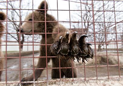 אחד הדובים. השכנים תיארו אדם חביב וחובב חיות (צילום: AP) (צילום: AP)