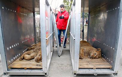 האריות מורדמים ומועברים לגן חיות (צילום: רויטרס) (צילום: רויטרס)