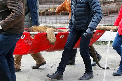 ייתכן שהחיות יועברו לדרום אפריקה (צילום: רויטרס) (צילום: רויטרס)