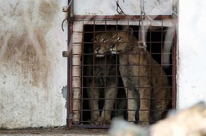 """האריות של באלינט. """"הם שאגו רק כשהיו רעבים"""" (צילום: רויטרס) (צילום: רויטרס)"""