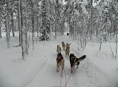החזקים בסוף, החכמים בראש. כלי האסקי-סיבירי ביערות פינלנד (צלם:  זיו ריינשטיין) (צלם:  זיו ריינשטיין)