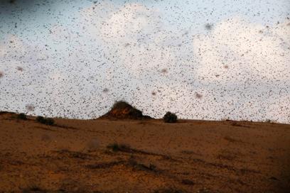 נחיל ארבה גדול שפשט על הנגב בשבוע שעבר (צילום: רויטרס) (צילום: רויטרס)
