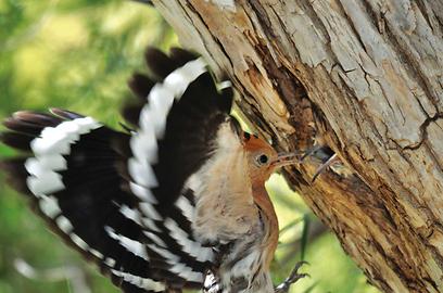דוכיפת מנצלת את הקן של הנקרים (צילום: משה ברקוביץ') (צילום: משה ברקוביץ')