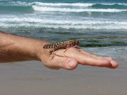 ארבה בחוף הים בתל אביב, אתמול (צילום: אדריאן רוזנר) (צילום: אדריאן רוזנר)
