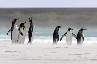 במי הם בחרו? פינגווינים באיי פוקלנד (צילום: AFP) (צילום: AFP)