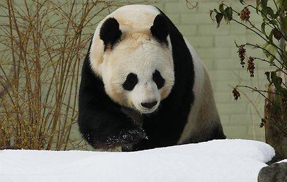 דובי הפנדה. איבדו את היצר המיני בתנאי שבי (צילום: רויטרס) (צילום: רויטרס)