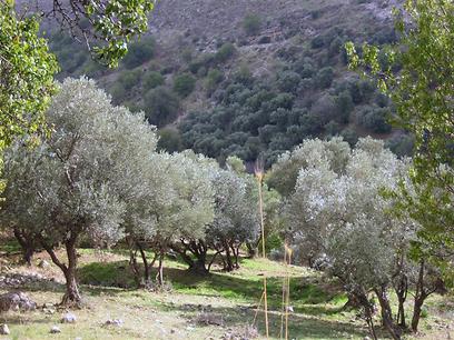 עצי זית בנחל ראש פינה (צילום: יעל צור אתר מפה)