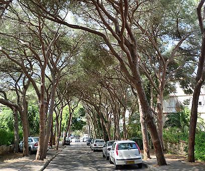 גם טבע, גם עיר. עצי אורן בתוך חיפה (צילום: גיא שחר)