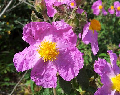 הפריחה פשוט מלבבת בתק' האביב. לוטם שעיר בהר תורען (צילום: זיו ריינשטיין)