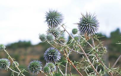 """שישה מינים גדלים בישראל. קיפודן מצוי (צילום:  ד""""ר רחלי עינב, טבע הדברים) (צילום:  ד"""