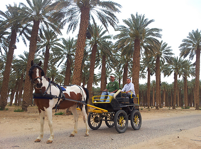 דיו, לערבה! רפי נוהג את מרכבת הסוסים במטע של גרופית (צילום: זיו ריינשטיין) (צילום: זיו ריינשטיין)