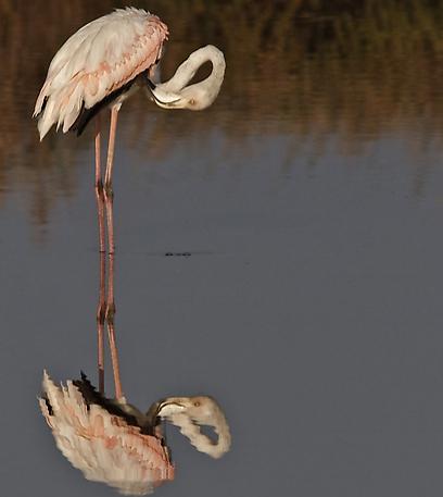 פלמינגו - אחד מדיירי בריכות הדגים בנחשולים (צילום: שי אגמון) (צילום: שי אגמון)