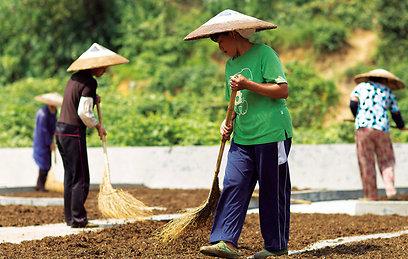 פועלות במפעל התרופות לונגיוואן בעיר חווי-חווא מייבשות צמחי מרפא בשטחים הפתוחים של החווה (צילום: רוני סופר) (צילום: באדיבות טבע הדברים) (צילום: באדיבות טבע הדברים)