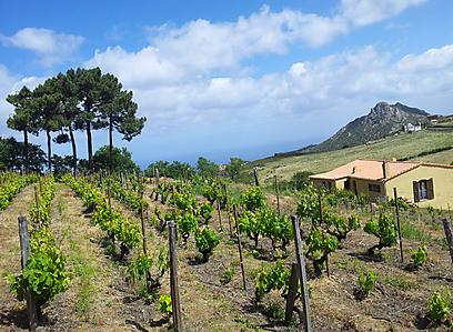 כרמים למרגלות ההרים בכפר המקסים סן אנטוניניו (צילום: זיו ריינשטיין) (צילום: זיו ריינשטיין)