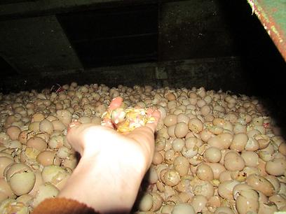 תיעוד הביצים והאפרוחים במכולה לפני מספר חודשים (צילום: טל גלבוע) (צילום: טל גלבוע)