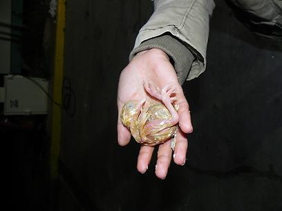 תיעוד הביצים והאפרוחים במכולה לפני מספר חודשים (צילום: אמנון קרן) (צילום: אמנון קרן)