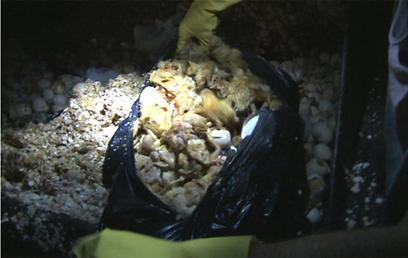 אפרוחים חיים בתוך שקית אשפה (צילום: ארז ארליכמן) (צילום: ארז ארליכמן)