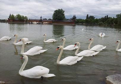 אגם הברבורים. גם בעלי חיים באים לנפוש באגם בלאטון (צילום: זיו ריינשטיין) (צילום: זיו ריינשטיין)