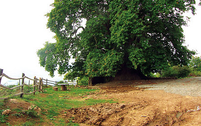 """הטינג'ירי - עץ דולב בן 2,000 שנה שנחשב לעתיק בברה""""מ (ירון וייס, טבע הדברים) (ירון וייס, טבע הדברים)"""