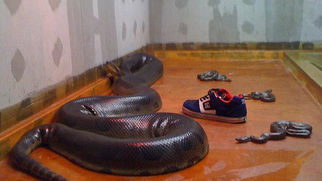 הנחשים שהוחזקו בחנות שמתחת לדירה ()