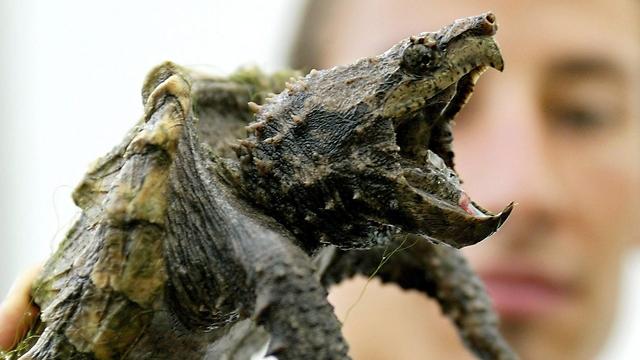 צב האליגטור מאופיין בלסתות חזקות ובאופי תוקפני (צילום: EPA) (צילום: EPA)