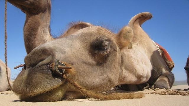 """ה""""רכבים"""" של המונגולים. גמלים במדבר גובי  (צילום: פלג כהן)"""