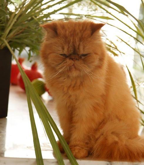 גם הוא פרסי. חתול (צילום: מיכל וקסמן) (צילום: מיכל וקסמן)
