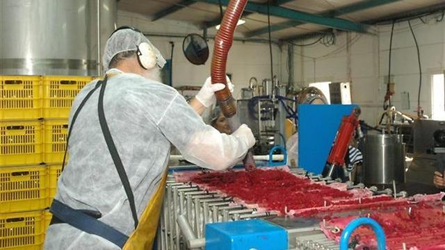 סוחטים רימונים במפעל קשת מיצים (באדיבות קשת טבעי מהגולן) (באדיבות קשת טבעי מהגולן)