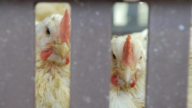 אל תטעו, גם תרנגולות מזהמות (צילום: ירון ברנר) (צילום: ירון ברנר)