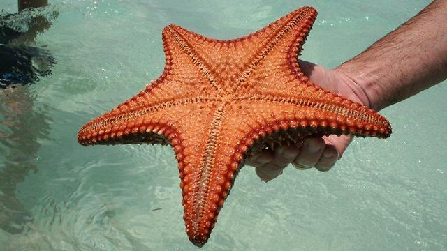 כוכבי הים האדומים (צילום: עדי אדר) (צילום: עדי אדר)