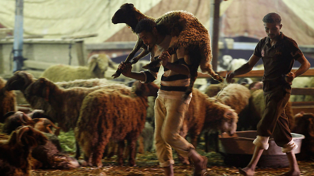 סוחר כבשים בקהיר, מצרים, מכין את סחורתו לחג הקורבן (צילום: רויטרס) (צילום: רויטרס)