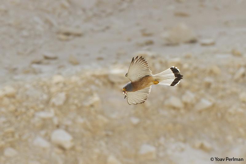 בז אדום (צילום: יואב פרלמן, החברה להגנת הטבע) (צילום: יואב פרלמן, החברה להגנת הטבע)